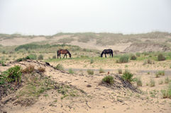 Wild horses grazing on beach. Two wild horses grazing on beach, outer banks of North Carolina Stock Photography