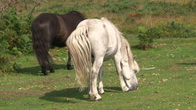 Wild horses grazing stock video footage