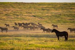 Wild horses grazing in a field at sunrise. Wild horses grazing in a meadow at sunrise. Concept Freedom in nature Royalty Free Stock Photography