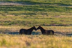Wild horses grazing in a field at sunrise. Wild horses grazing in a meadow at sunrise. Concept Freedom in nature Royalty Free Stock Images