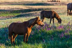 Wild horses grazing in a field at sunrise. Wild horses grazing in a meadow at sunrise. Concept Freedom in nature Stock Photography