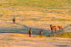Wild horses grazing in a field at sunrise. Wild horses grazing in a meadow at sunrise. Concept Freedom in nature Stock Image