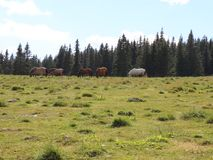 Wild horses grazing. In a glade at the edge of the forest stock video footage