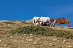 Wild horses grazing grass on the hill. Wild horses in the mountain Stock Photos