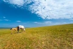 Wild Horses Grazing Grass Mongolia Steppe Stock Photos