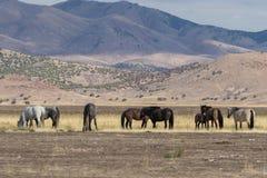 Wild Horses Grazing Royalty Free Stock Photos