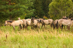 Wild horses grazing in a meadow Royalty Free Stock Photography
