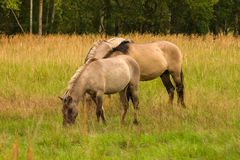 Wild horses grazing in a meadow Royalty Free Stock Photo