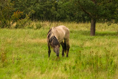 Wild horses grazing in a meadow Stock Photography