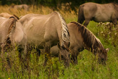 Wild horses grazing in a meadow Royalty Free Stock Image