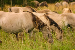Wild horses grazing in a meadow Stock Images