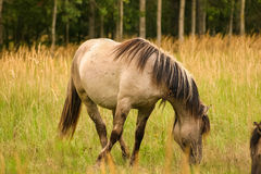 Wild horses grazing in a meadow Stock Image