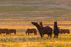 Wild horses grazing in a field at sunrise. Wild horses grazing in a meadow at sunrise. Concept Freedom in nature Royalty Free Stock Image