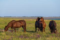 Wild horses grazing in a field at sunrise. Wild horses grazing in a meadow at sunrise. Concept Freedom in nature Stock Images