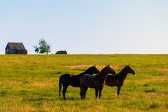 Wild horses grazing in a field at sunrise. Wild horses grazing in a meadow at sunrise. Concept Freedom in nature Stock Photo