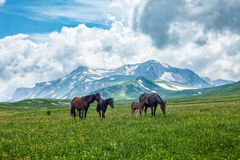 Wild horses grazing in mountain valley Stock Photos