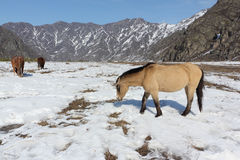 Wild horses grazing among mountains in the spring Royalty Free Stock Photos