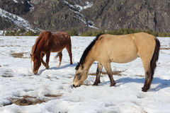 Wild horses grazing among mountains in the spring Royalty Free Stock Photo
