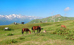 Wild horses grazing in the mountains Stock Images