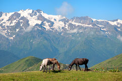 Wild horses grazing in the mountains Stock Photography
