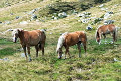 Wild horses grazing on a mountainside Royalty Free Stock Photography
