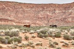 Wild Horses Grazing in National Park, Utah USA Royalty Free Stock Photography