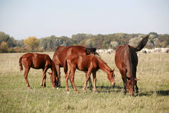 Wild horses grazing in a natural environment in the meadows Stock Photos