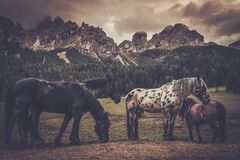 Wild horses is grazing near mountain forest landscape. Stock Photos