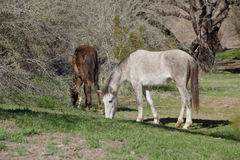 Wild Horses Grazing Royalty Free Stock Photography