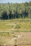 Wild horses grazing on a public footpath in front of a wood and heather shrubs in the New Forest, UK royalty free stock image