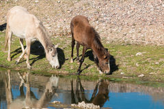 Wild Horses Grazing by River Stock Image