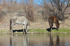 Wild Horses Grazing by the Salt River Stock Photography