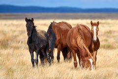 Wild horses grazing in steppe in Central Asia. stock images