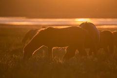 Wild horses grazing on summer meadow at sunset Royalty Free Stock Image