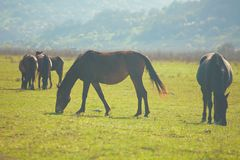 Wild horses grazing on a sunny mountain meadow Royalty Free Stock Images