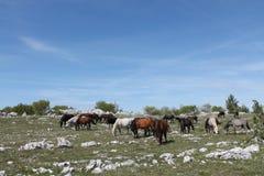 Wild horses grazing Royalty Free Stock Photo