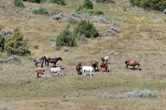 Wild Horses. Grazing in Theodore Roosevelt National Park Royalty Free Stock Image