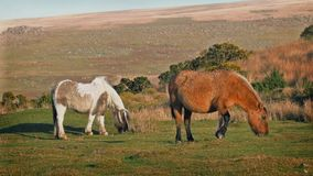 Wild Horses Grazing On Windy Hillside stock video footage