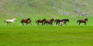 Wild horses in green field Stock Photography