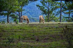 Wild horses and green field. Wild horses wandering and grazing on fresh green field freely in the morning stock images