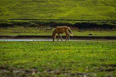 Wild horses and green field. Wild horses wandering and grazing on fresh green field freely in the morning stock photo
