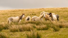 Wild horses in Wales. Wild horses on a grey and windy day near Foel Eryr, Clynderwen, Pembrokeshire, Dyfed, Wales, UK royalty free stock photography