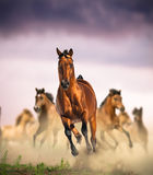 Wild horses group running Royalty Free Stock Photo