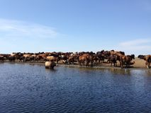 Wild horses and herd of cows in Danube Delta. Water, Danube Delta, cows, wild horses, Tulcea County Stock Photography