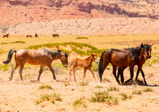 Wild horses. A herd of wild or feral horses including a foal in Monument Valley. They are free-roaming in the scenery Royalty Free Stock Photography