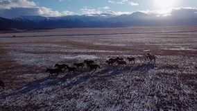 Wild horses herd running on meadow aerial fly over winter steppe with snow nature wild life beauty animals stallions stock video footage