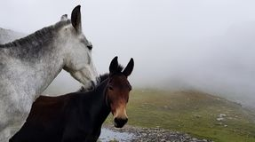 Wild Horses. At a high altitude lake Himachal stock photo