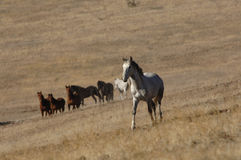 Wild horses in high mountain desert Royalty Free Stock Image