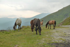 Wild horses in high mountains Stock Photography