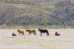 Wild horses in the highland prairie in the Cotopaxi national par Royalty Free Stock Photos